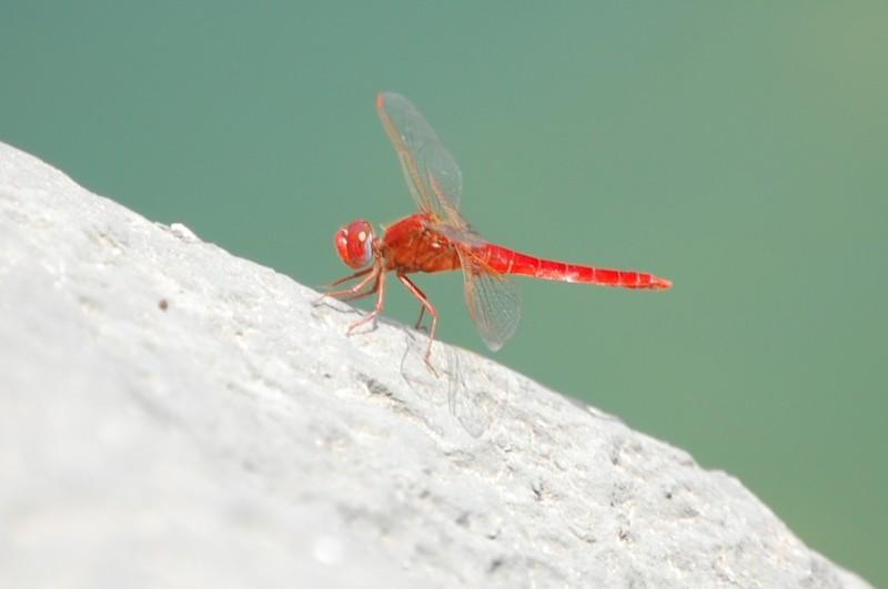 Rote Libelle nach der Landung